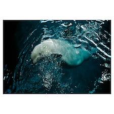 Illinois, Chicago, High angle view of a Beluga wha