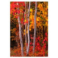 Maine, Autumn maple trees