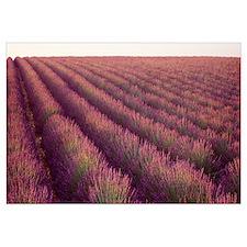 Close-up of Lavender fields, Plateau de Valensole,