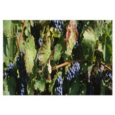 Close-up of red grapes in a vineyard, Finger Lake,