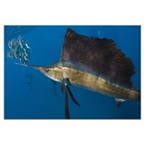 Atlantic Sailfish Feeding
