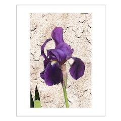 Bearded Iris Posters