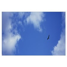 Low angle view of a turkey vulture flying in the s
