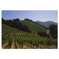 Vineyard on a landscape, Napa Valley, California