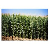 Corn crops on a field, Delhi, California