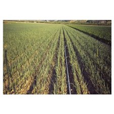 Onions growing on a field, Somis, California
