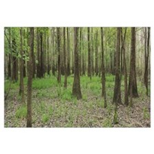 Trees in the forest, Congaree National Park, South