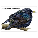 European Starling Wall Art