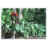 Scarlet (RED) Macaws Wall Art