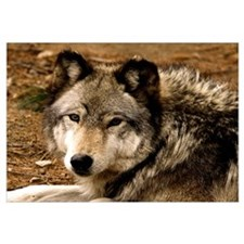 Timber Wolf 1630 Wall Art
