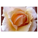 Creamy Orange Rose Wall Art