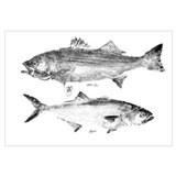 Striper Bass and Bluefish Wall Art