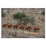 African Elephant young orphans walking in a line t