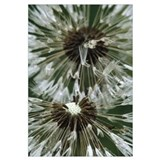 Dandelion (Taraxacum officinale) seed head, North