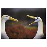 Waved Albatross (Diomedea irrorata) courtship disp