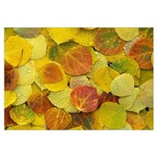 Fallen autumn colored Aspen leaves on the ground c