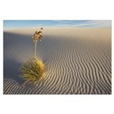 Soaptree Yucca (Yucca elata) growing in gypsum san