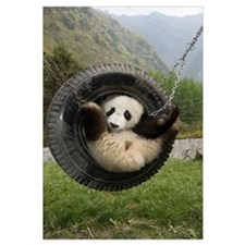 Giant Panda cub playing in tire swing, Wolong Natu