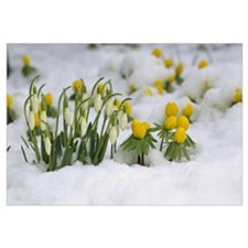 Snowdrops (Galanthus nivalis) blooming in snow, Ge