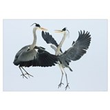Grey Heron (Ardea cinerea) pair fighting over a fi