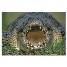 Saltwater Crocodile or Estuarine Crocodile with op