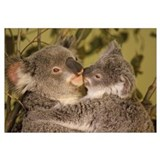 Koala (Phascolarctos cinereus) mother with joey, e