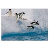 Adelie Penguin group jumping and diving off iceber