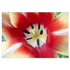 Pistil and Stamen of a Tulip