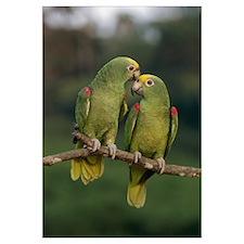 Yellow-crowned Parrot (Amazona ochrocephala) pair,