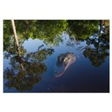 American Alligator on surface, Okefenokee National