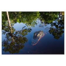 American Alligator on surface, Okefenokee National