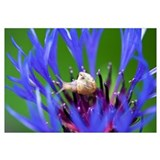 White-lipped Grove Snail on Knapweed (Centaurea sp