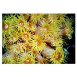 Orange Cup Coral (Tubastrea coccinea), Red Sea, Eg