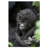 Mountain Gorilla three month old infant, endangere