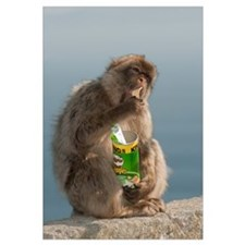Barbary Macaque eating potato chips stolen from to