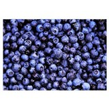 Bilberry (Vaccinium myrtillus) close up of harvest