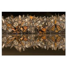 Monarch butterflies gathering to drink water and t