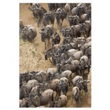 Blue Wildebeest herd approaching banks of the Mara