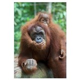 Sumatran Orangutan mother and playful two and a ha