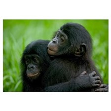 Bonobo pair of orphans hugging, Democratic Republi