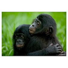 Bonobo pair of orphans hugging, Democratic Republi