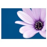 Cape Marguerite Daisy (Osteospermum ecklonis)