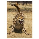 Cheetah (Acinonyx jubatus) hissing, Cheetah Conser