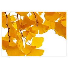 Ginkgo (Ginkgo biloba) leaves in autumn, Netherlan