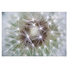 Dandelion (Taraxacum officinale) seed head showing