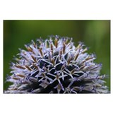 Detail of Globe Thistle