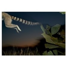Ring-tailed Lemur leaping from a cactus, vulnerabl