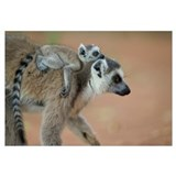 Ring-tailed Lemur baby riding on mother's back, vu