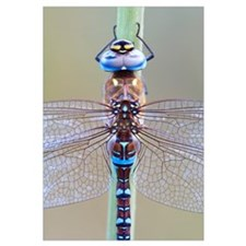 Migrant Hawker Dragonfly (Aeshna mixta), Spain