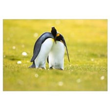 King Penguin couple courting, Volunteer Point, Eas